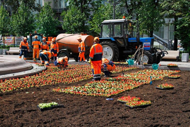 工作者在花床上的种植红色秋海棠在街道上在莫斯科 免版税库存图片
