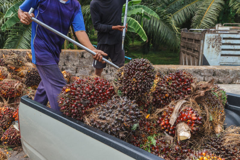 工作者投掷油棕榈树在卡车外面的果子分支 免版税库存照片