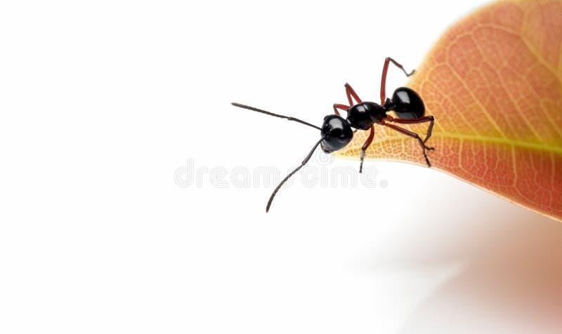 工作者Polyrhachis在红色叶子的laevissima蚂蚁 免版税库存图片