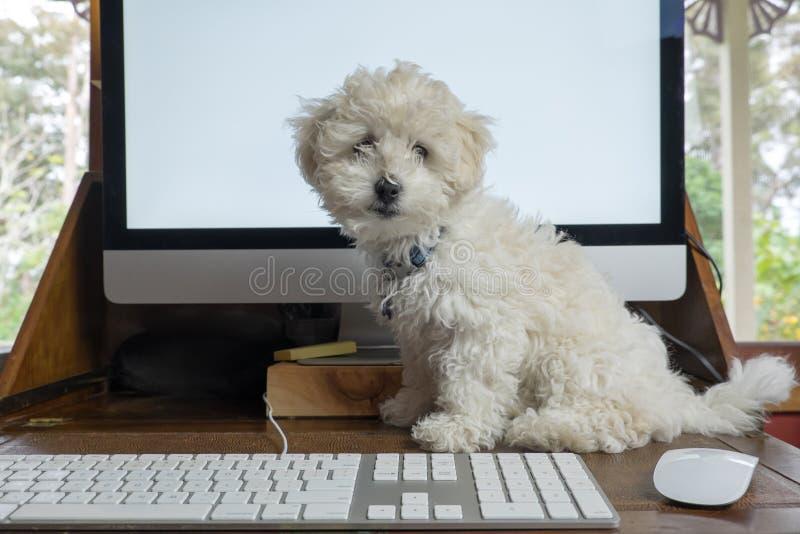 工作从有bichon frise小狗的家在有compu的书桌上 免版税库存图片