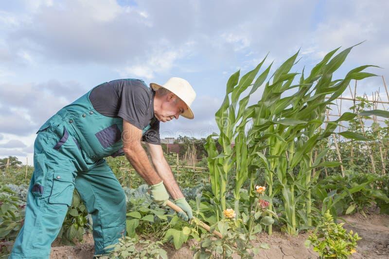 工作他的都市菜园的农夫 免版税图库摄影