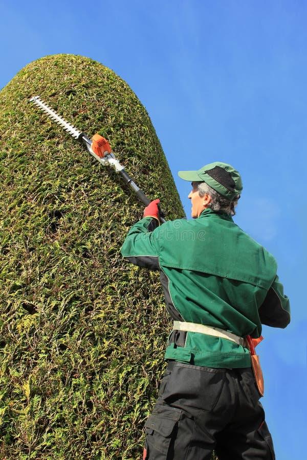 工匠与树篱飞剪机的饰物金钟柏 免版税库存照片