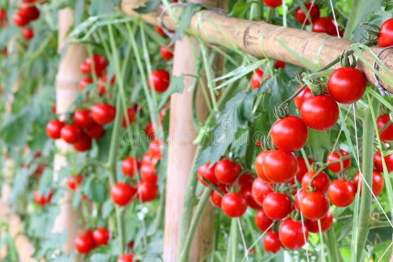 工厂成熟蕃茄 红色蕃茄 菜 免版税库存图片