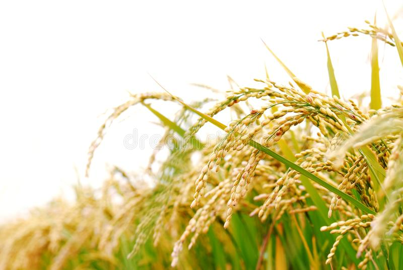 工厂米 免版税库存图片