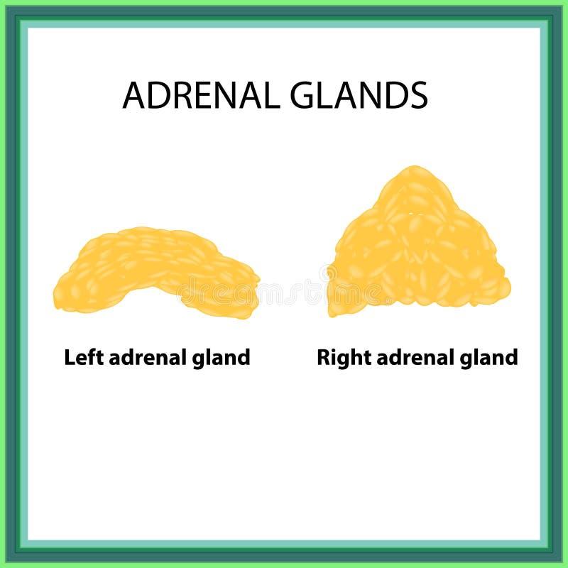 左右肾上腺 Infographics 在被隔绝的背景的传染媒介例证 向量例证