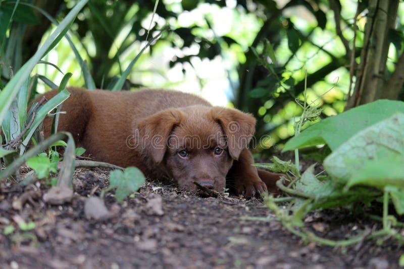 巧克力休息在庭院里的色的小狗 图库摄影