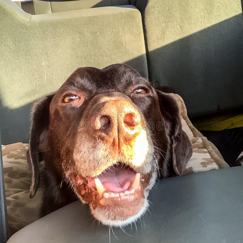 巧克力在卡车的拉布拉多猎犬骑马有巨大的小狗咧嘴的 免版税库存照片