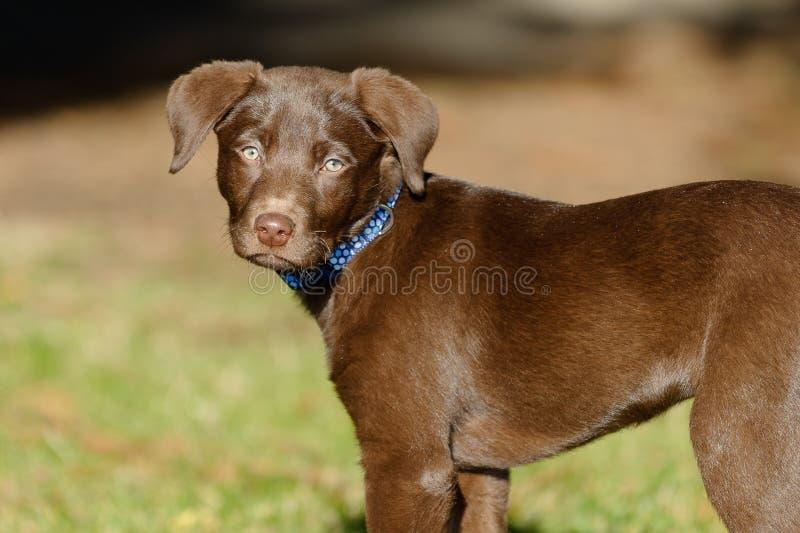 巧克力实验室小狗在公园 免版税库存图片
