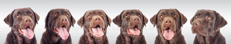 巧克力拉布拉多狗的画象 库存图片
