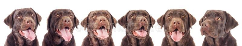 巧克力拉布拉多狗的画象 库存照片