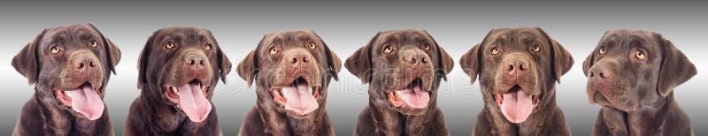 巧克力拉布拉多狗的画象 免版税库存照片