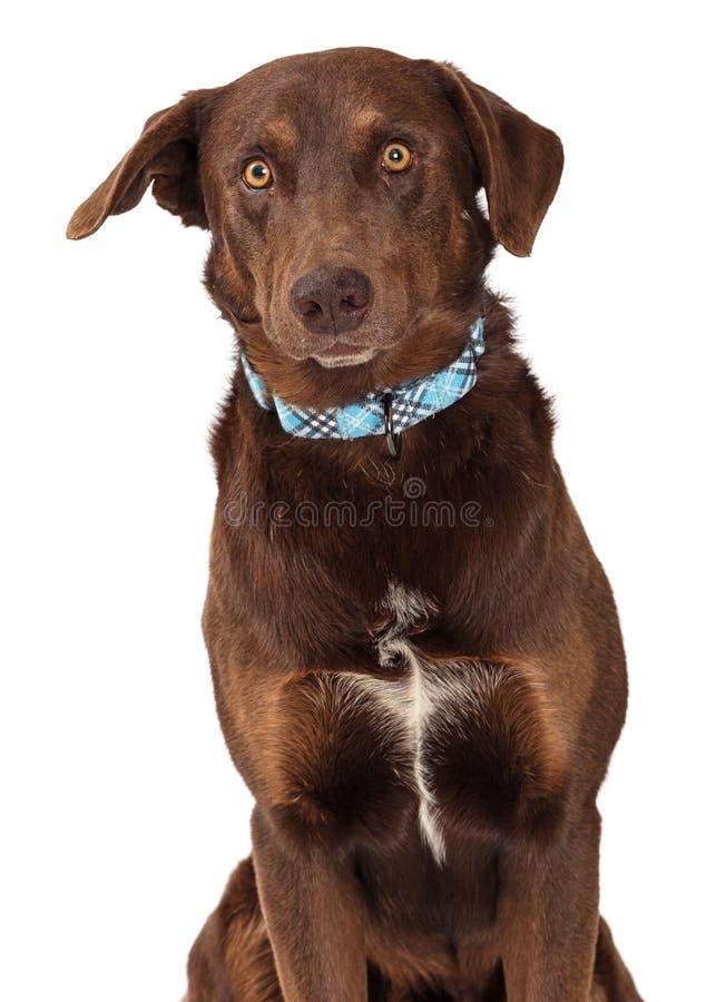 巧克力拉布拉多猎犬杂种狗特写镜头 库存照片