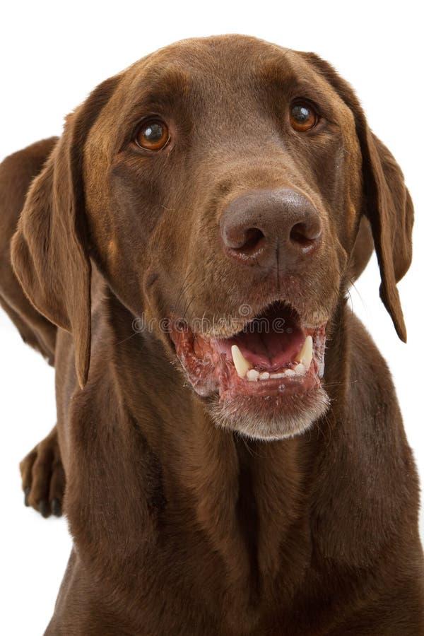 巧克力特写镜头狗拉布拉多猎犬 免版税库存照片