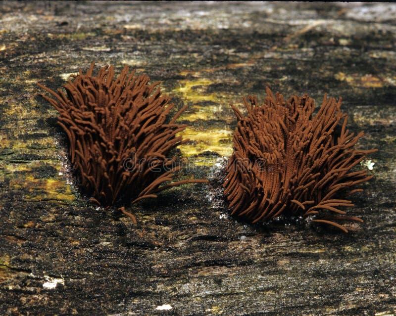 巧克力管粘液菌 免版税库存图片