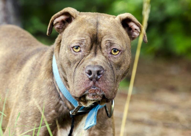 色狗美利坚_图片 包括有 敌意, 采用的, 衣领, 蓝色, 粉红色, 放置 - 96688419