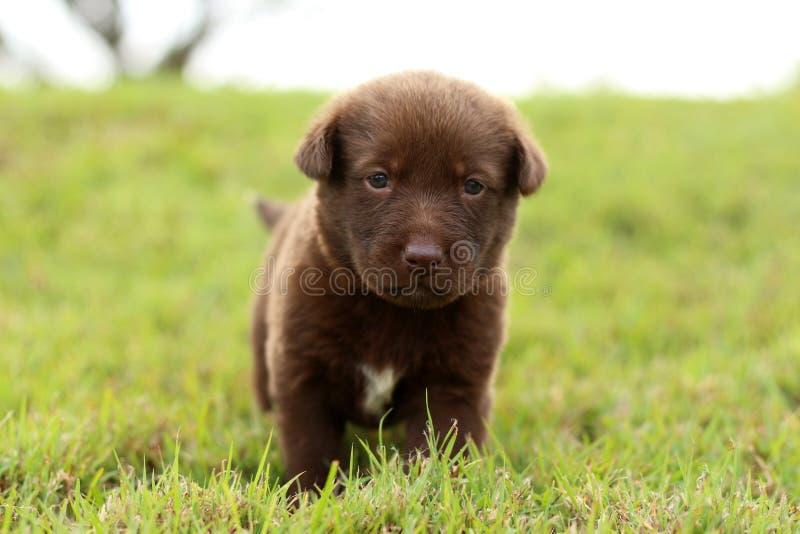 巧克力色的小狗 免版税库存图片