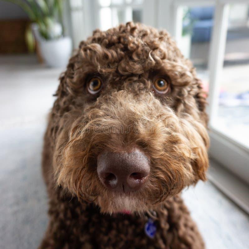 巧克力labradoodle棕色小狗 库存图片