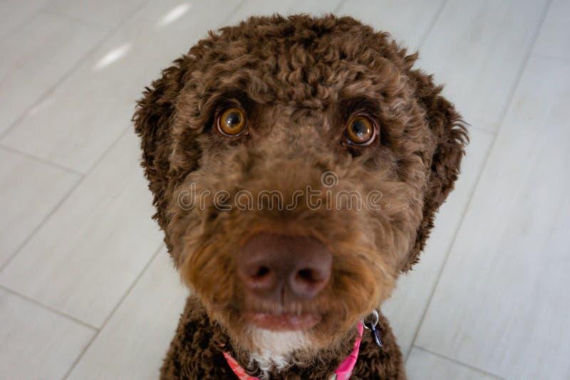 巧克力labradoodle棕色小狗 免版税库存图片