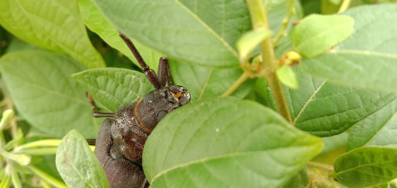 巨人甲虫Titanus giganteus是一只neotropical长角牛甲虫 免版税库存图片