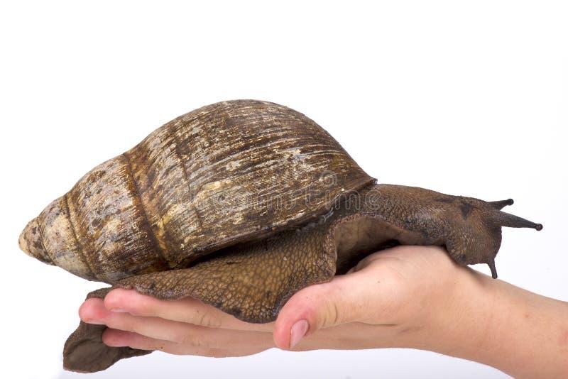 巨人西非蜗牛, Archachatina marginata 图库摄影