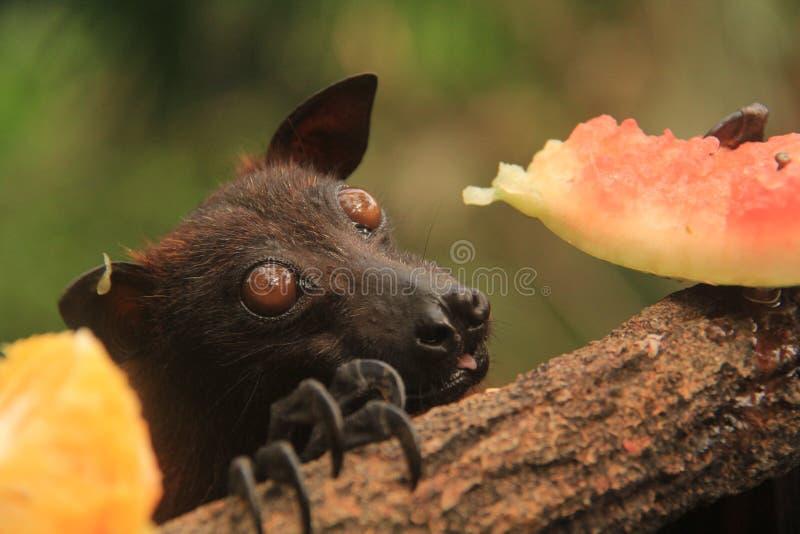 巨人金黄被加冠的果蝠吃 免版税图库摄影
