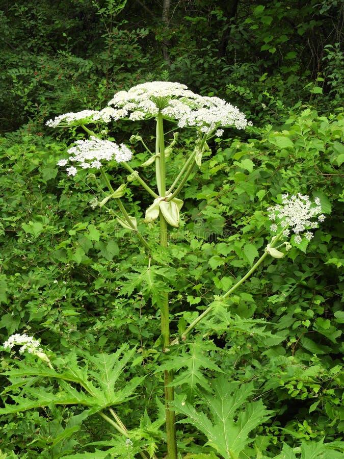 巨人Hogweed毒性茎、花和叶子 图库摄影