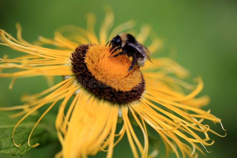 巨人Inula与土蜂的Helenium花 免版税库存照片