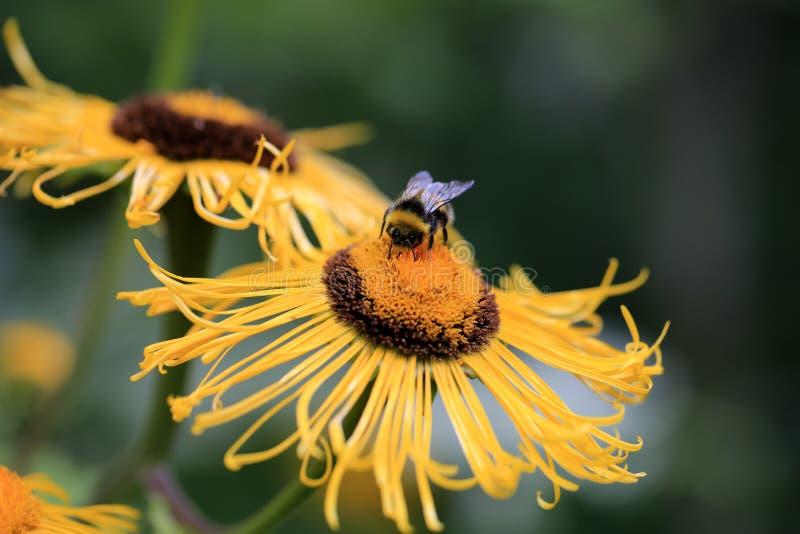 巨人Inula与土蜂的Helenium花 免版税库存图片