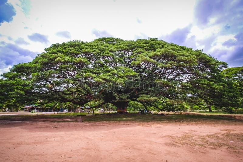 巨人Monkeypod树 免版税库存图片