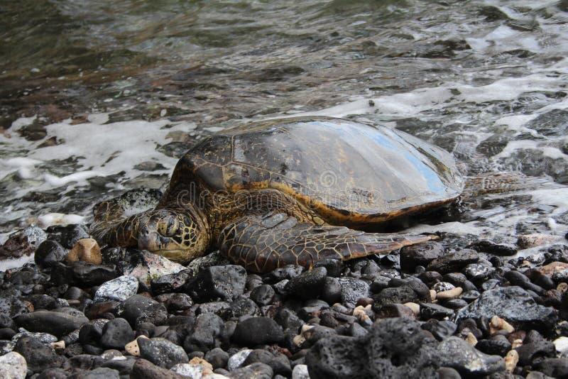 巨型乌龟在毛伊 库存图片