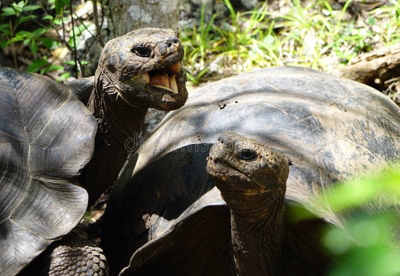巨型乌龟谈话 库存图片