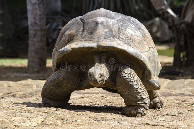 巨型乌龟, dipsochelys gigantea在海岛毛里求斯,关闭 图库摄影