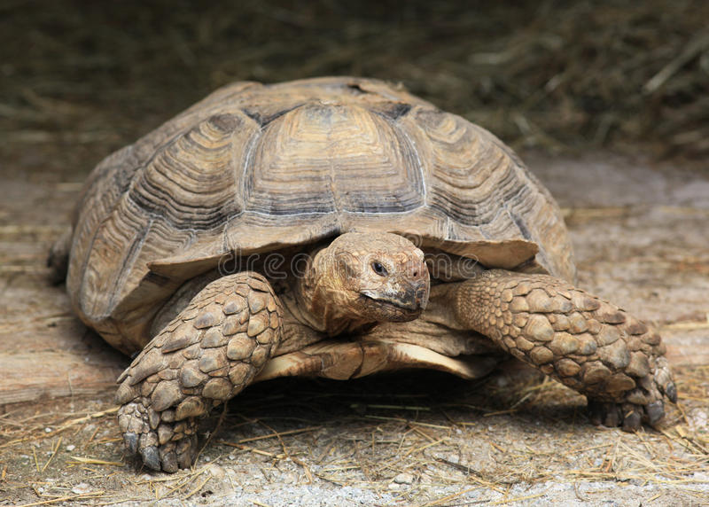 巨型乌龟 库存照片