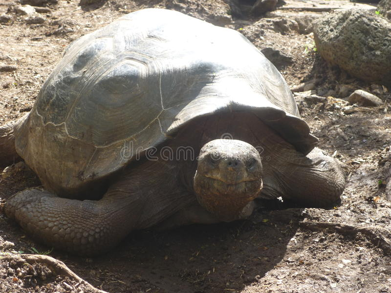 巨型乌龟 免版税图库摄影