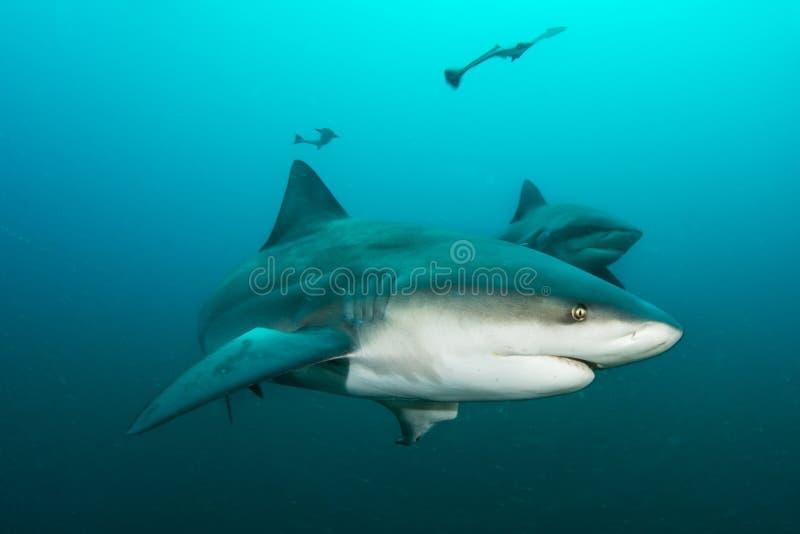 巨型公牛鲨鱼 免版税图库摄影