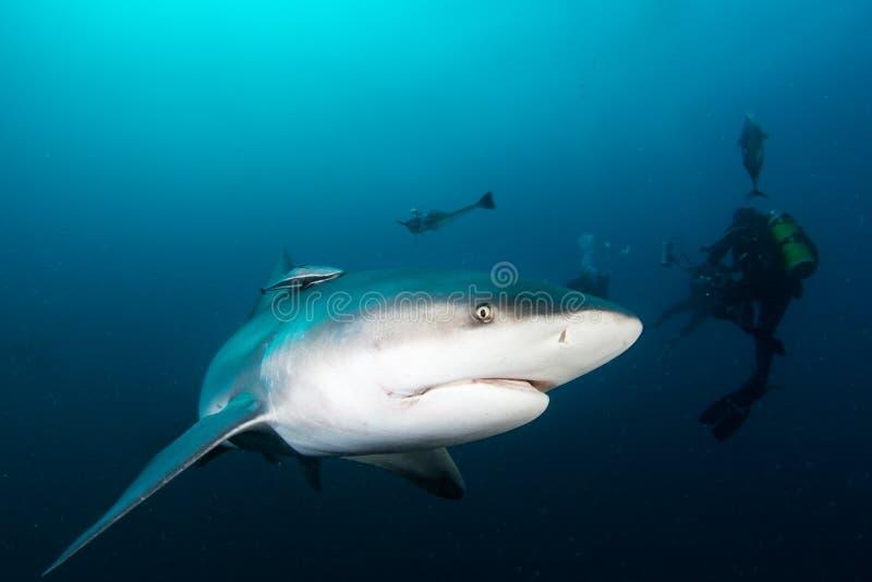 巨型公牛鲨鱼 库存照片