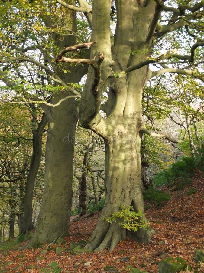 巨型古老山毛榉树在倾斜的山坡的春天森林里 免版税库存照片
