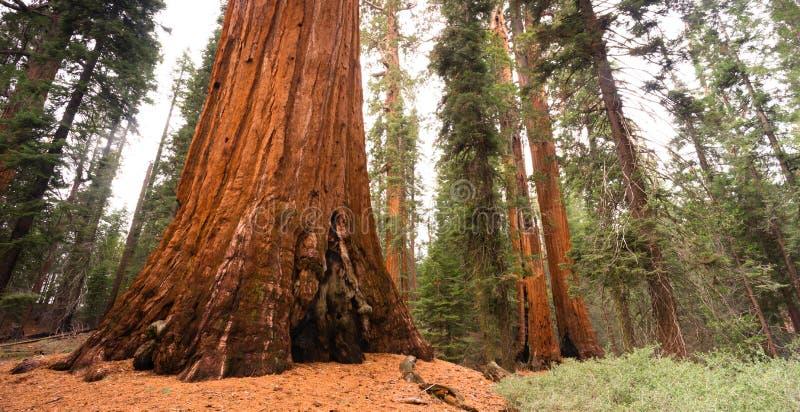 巨型古老Seqouia树国王峡谷国家公园 库存图片