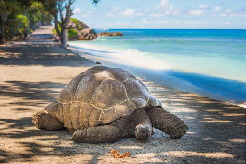 巨型塞舌尔群岛草龟 库存照片
