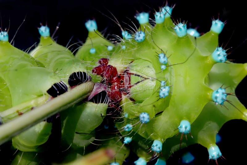 巨型孔雀飞蛾农神pyri的惊人的毛虫在黑背景的 图库摄影