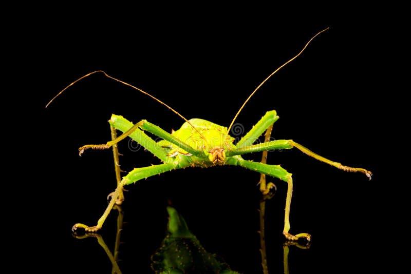 巨型密林若虫女性Heteropteryx dilatata 免版税库存图片