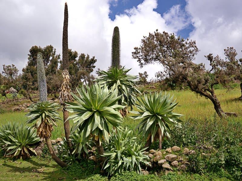巨型山梗菜, Simien山,埃塞俄比亚 免版税库存图片