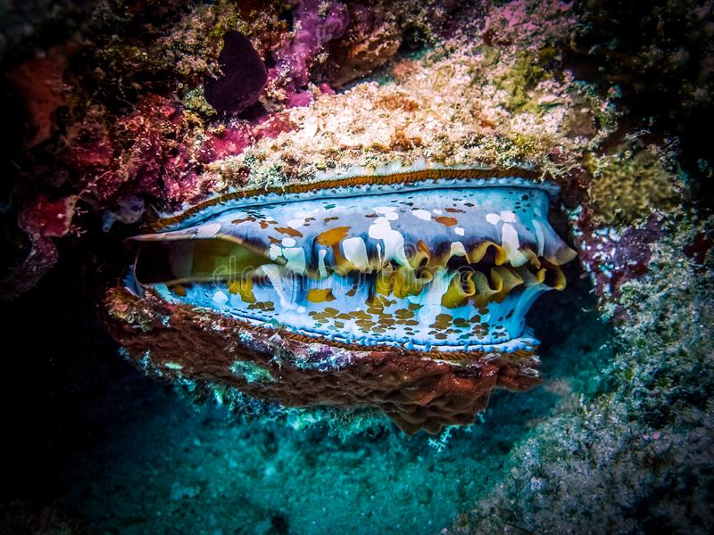 shelfish -巨型巨蛤 这个有机体是地方性的对热带水环球 在珊瑚礁和它
