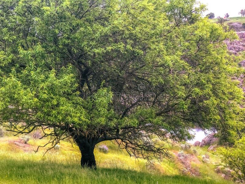 巨型延长的树在原野 库存图片