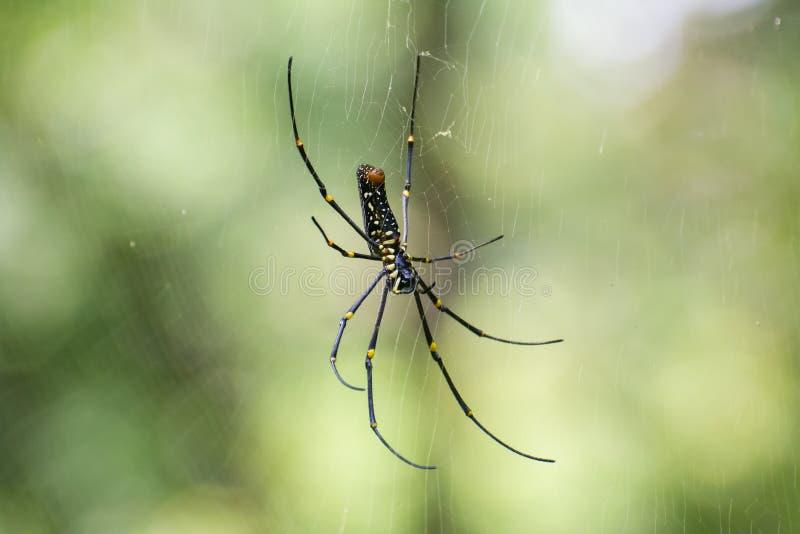 巨型木蜘蛛女性 库存图片