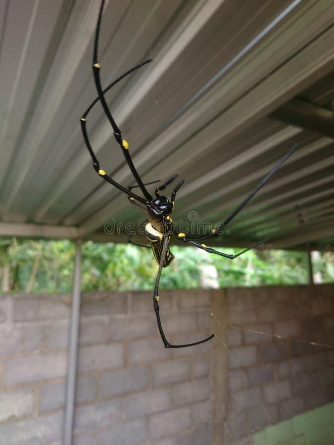 巨型木蜘蛛, Nephila Maculata 免版税库存照片