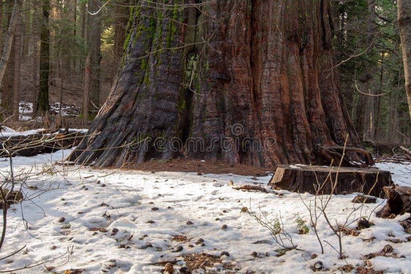 巨型树在冬天 图库摄影