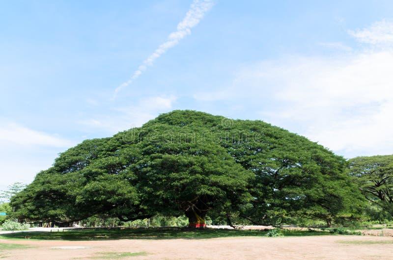 巨型树 库存图片