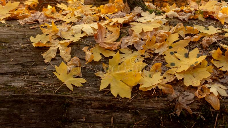 巨型槭树黄色叶子在秋天 库存照片