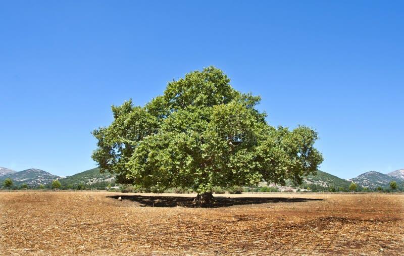 巨型橡木 库存照片